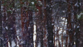 Winter Pine Forest Background with Snowfall. Snow And Pine Forest - Christmas Background. Winter forest with snowy tree. Snow falling and covered fir trees on a stock footage