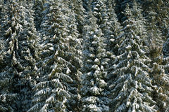 Winter pine forest background in sunlight beauty nature Stock Photo