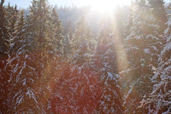 Winter pine forest background in sunlight beauty nature Royalty Free Stock Photo