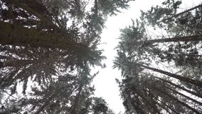 Winter pine forest. The camera is directed upwards towards the crowns of the trees. Winter pine forest. The camera is directed upwards towards the crowns of the stock video