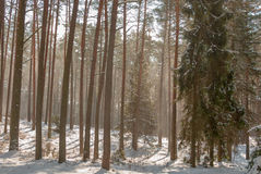 Winter pine forest Stock Photo