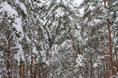 Winter pine forest, covered with snow after snowfall Stock Photo
