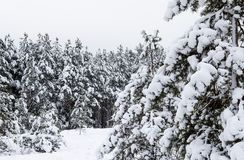 Winter pine forest covered with white snow royalty free stock images