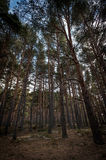 Winter pine forest Stock Images