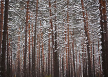Winter in the Pine Forest Royalty Free Stock Images