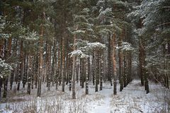 Winter pine forest. Everything is fine,I want to enter this snow-covered forest and walk through it. The forest is a separate world filled with life stock image