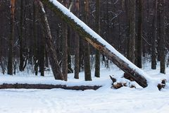 Winter pine forest with fallen trees. Winter pine forest with fallen trees royalty free stock photo