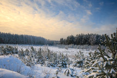 Winter pine forest. In a frosty day royalty free stock photo