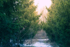 Winter Pine forest green background with a blurred Christmas tree branches Stock Image