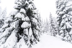 Winter pine forest. In Harz, Germany Royalty Free Stock Photo