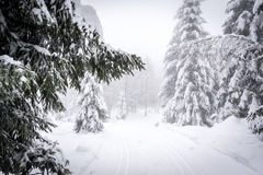 Winter pine forest. In Harz, Germany Royalty Free Stock Image
