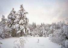 Winter pine forest landscape Royalty Free Stock Image