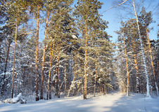 In the winter pine forest Stock Photos