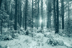 Winter pine forest landscape Stock Photos