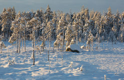 Winter pine forest Royalty Free Stock Photos