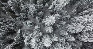 Winter pine forest in the mountains in snow. Aerial view. Snow covered spruces tops, stand white on snow, tall trees, covered narrow forest roads, covered with stock video