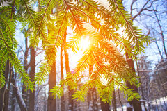 Winter pine forest nature snowy the lights of a sun Stock Photo