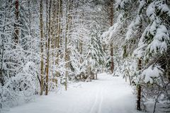 Winter pine forest path Stock Images