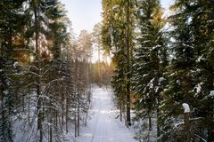 The winter pine forest photographed by the quadcopter from above. The winter pine forest in the sun rays, photographed by the quadcopter from above royalty free stock photos