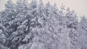 Winter pine forest in Russia stock footage