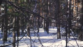 Winter pine forest in Russia stock video footage