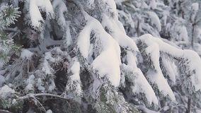 Winter pine forest in Russia stock video