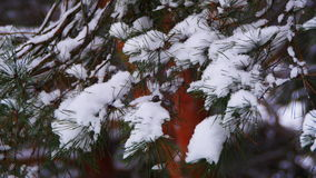 Winter Pine Forest with Snow-Covered Branches Christmas Trees stock video footage