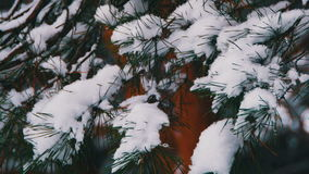 Winter Pine Forest with Snow-Covered Branches Christmas Trees stock video