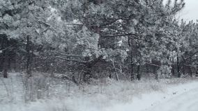 Winter pine forest with snow-covered branches. Snow falling and covered fir trees on a winter day. Winter background stock video