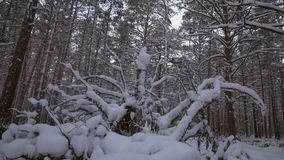 Winter pine forest with snow drifts stock footage video. Beautiful winter pine forest with snow drifts stock footage video stock video