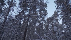 Winter pine forest with snow drifts stock footage video. Beautiful winter pine forest with snow drifts stock footage video stock video footage