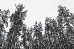 Winter pine forest with snow on trees Stock Photo