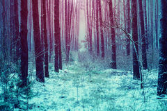 Winter in pine forest Royalty Free Stock Photo