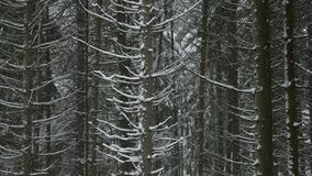 Winter pine forest in a snowy day. Winter forest, view of pine trees during snowing. winter scene stock footage