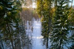 The winter pine forest photographed by the quadcopter from above. The winter pine forest in the sun rays, photographed by the quadcopter from above stock images