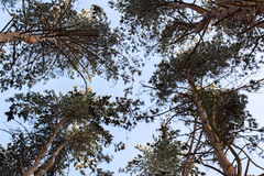 Winter pine forest,tree branches in snow,tops of the trees Stock Photography
