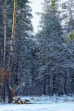 Winter pine forest under the snow Stock Photos