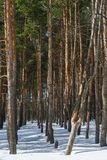 Winter pine forest. View of winter pine forest Stock Photography