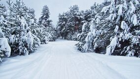 Free Winter Pine Forest Walk Royalty Free Stock Photo - 219752155