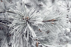 Winter: pine in frost. Branches of pine covered in hoarfrost Stock Photography