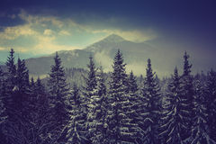 Winter pine mountain forest. Fresh snow on the trees. Stock Image