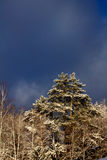 Winter. Pine. Snow. Royalty Free Stock Image
