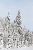 Winter pine. Snow-covered forest in the Ural Mountains Stock Photos