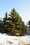 Winter pine. The snow on this pine tree has started to melt Stock Photography