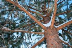 An winter  pine tree Royalty Free Stock Image