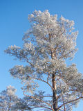 Winter pine tree. Winter pine covered with frost Stock Images