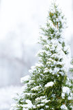Winter pine-tree Royalty Free Stock Images