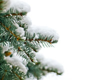 Winter pine tree Royalty Free Stock Photo