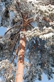 Winter Pine tree Stock Photo