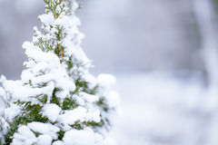 Winter pine-tree Stock Photos
